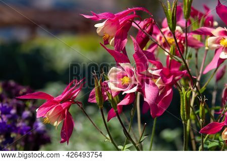 Close-up Image Of A Beautiful Spring Flowering Aquilegia Vulgaris Red Flower Also Known As A Columbi