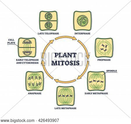 Plant Cell Mitosis And Cellular Division In Educational Outline Diagram. Biological Process For Pare