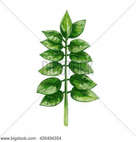 Green Fresh Zamioculcas Zamiifolia Leaf. Vintage Vector Hatching Color Hand Drawn Illustration Isola