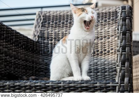 An Adored Tricolor Kitten, The Kitten Sits On A Canopy Chair On The Veranda And Yawns. Funny Pets.