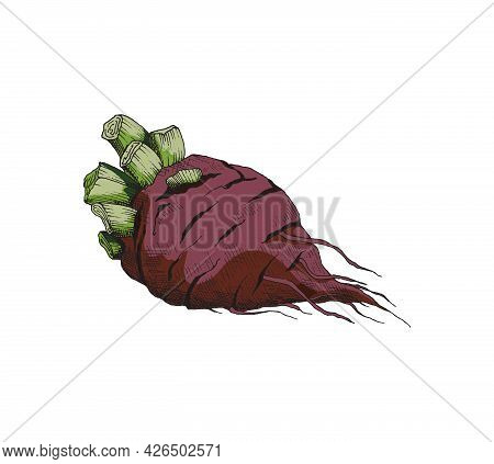 Red Whole Beetroot In Hand Drawn Vintage Style Vector Illustration Isolated.