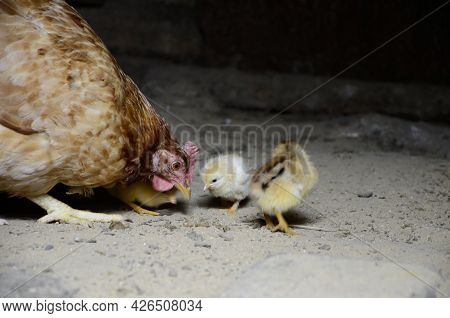Two Cute Little Newborn Yellow Chickens And A Mother Chicken Are Pecking At The Food On Hen House In
