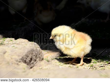 Close Up One Cute Little Newborn Yellow Chicken Pecking At Food On Hen House In Farm Pattern Backgro