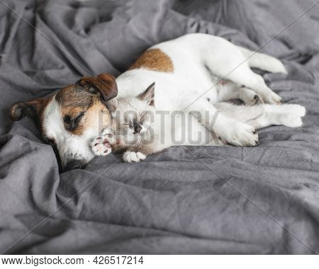 Cat and dog sleeping together. Dog and small kitten on gray blanket at home. Pets sleep