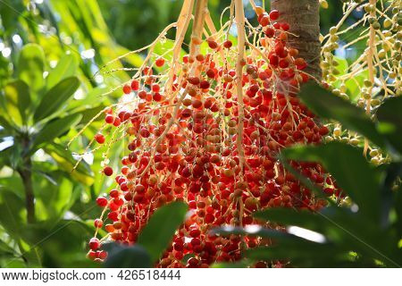 Sealing Wax Palm Red Seeds Growth On Tree With Daylight Background