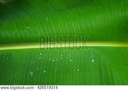 Natural Banana Green Leave With Waterdrops Beauty And Fresh Background