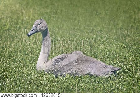 Young Mute Swan Cygnet Relaxing In The Green Meadow Beside The River Danube.