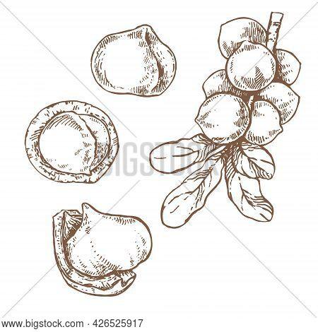 Hand Drawn Vector Macadamia Nut Core Branch