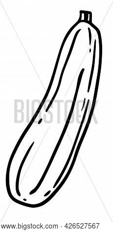 Zuccini Squash Hand Drawn Vector Illustration. Squash Vegetable Ingredient. Zuccini Healthy Food Iso
