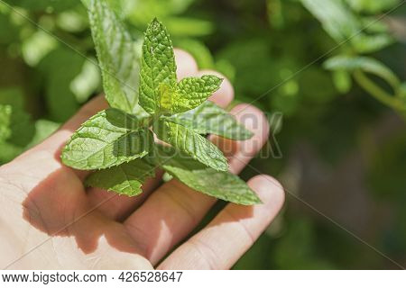 Farmer Man Hold Fresh Mint Plant Leaves On A Farm, Healthy Food Ingredients