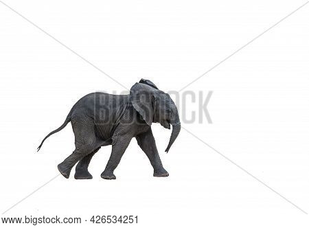 African Bush Elephant Calf Running, Isolated In White Background ; Specie Loxodonta Africana Family