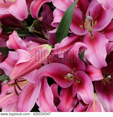 Full Frame Image Of Deep Pink Lilies Showing Stamen Detail