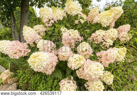 Hydrangea In The Garden Close-up, Beautiful White And Pink Hydrangea Blooms