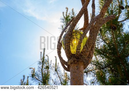 Magical Wooden Coniferous Staff With Golden Amber Sphere Glowing In The Sun On Blurred Natural Backg