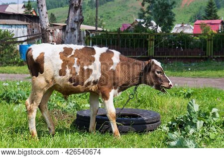 Cute Young Spotted White And Brown Calf Eating Grass. Cow Grazing In The Meadow