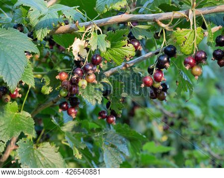 Unripe Black Currant On Branch In Fruits Garden In Summer Day. Black And Green Berries On The Bush