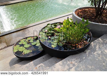 Water Lilies Growing In A Flowerbed With Water Are Round In Shape On The Steps In The Park.
