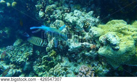 Daisy Parrotfish Or Bullethead Parrotfish (chlorurus Sordidus) And Red Sea Sailfin Tang (zebrasoma D