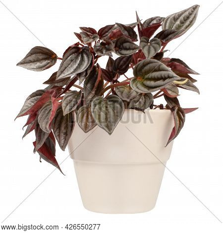 Isolated Close-up Photo Of A Peperomia Flower In A White Ceramic Pot.