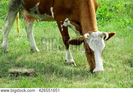 A Brown Cow Is Nibbling The Grass In The Field. A Cow Grazes On A Green Meadow.