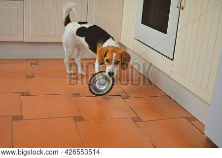 Cute Beagle Dog Looking At Empty Dog Bowl. Hungry Beagle Dog And Flying Bowl. Beagle Looking For Its