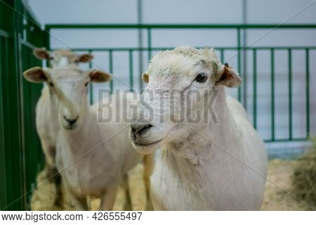Flock Of Cute White Sheep At Agricultural Animal Exhibition, Small Cattle Trade Show. Farming, Agric