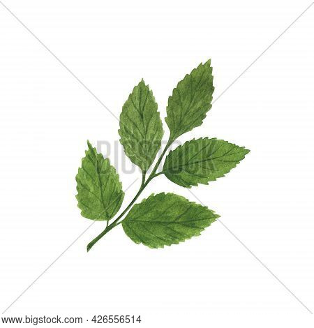 Green Rose Flower Leaf Simple Watercolor Illustration, Hand Drawn Botanical Floral Image For Greetin