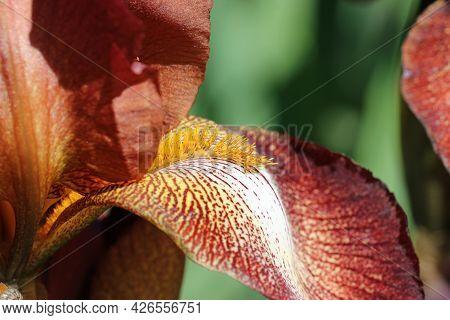 Brown Bearded Iris, Iris Germanica Variety Kent Pride, Flower Close Up Showing The Orange Beard With
