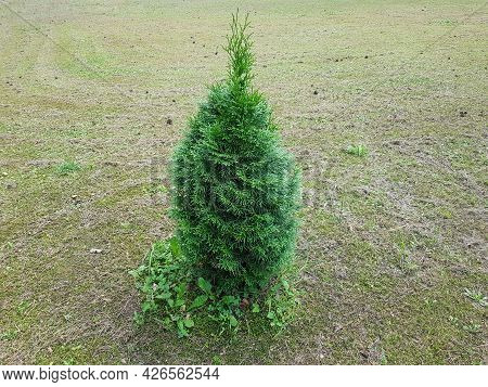 Thuja Is A Genus Of Gymnosperm Coniferous Plants Of The Cypress Family (cupressaceae). It Is Used In