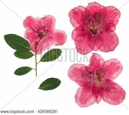 Pressed And Dried Flowers Azalea, Isolated On White Background. For Use In Scrapbooking, Pressed Flo