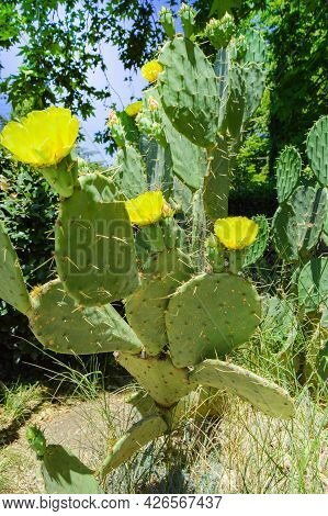 Prickly Pear Cactus With Numerous Yellow Flowers, Grows In The Park, Outdoors, Vertical Frame