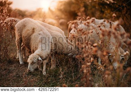 A Flock Of Sheep Grazes On A Beautiful Meadow At Sunset.