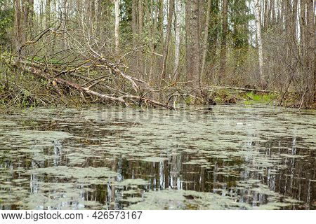 Withered Trees Lie On The Banks Of The Swamp. Springtime Alder Bog Forest With Standing Water.