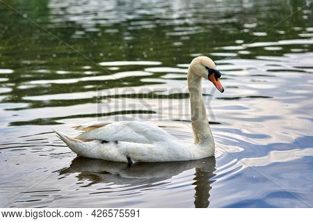 A White Swan With A Long Neck And A Red Beak Floats On The Water