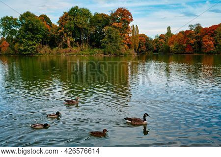 Ducks in a lake in Munich English garden Englischer garten park. Autumn colours on trees and leaves reflecting in water. Munchen, Bavaria, Germany