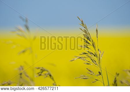 Grass Plants With Yellow Canola Field In Background
