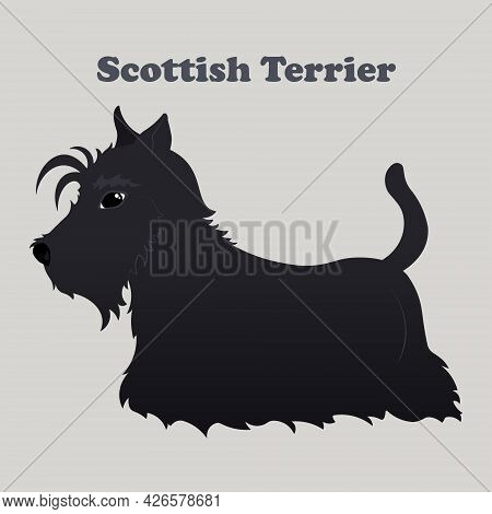 Scottish Terrier. Print With Dog With Background.