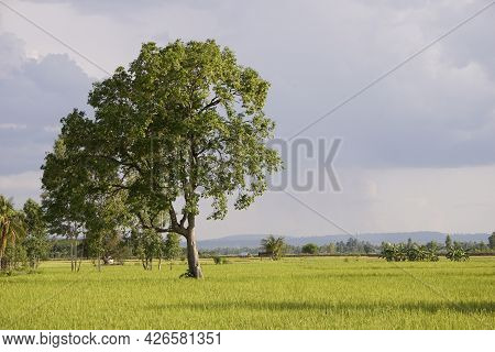 Lonely Native Trees Surrounded By Rice Fields Producing Rice For Human Consumption Thailand Asia