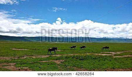 Gnus at Ngorongoro