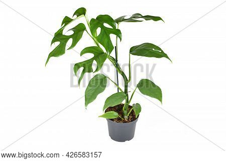 Exotic  Houseplant With Botanic Name 'rhaphidophora Tetrasperma' With Small Leaves With Windows In F