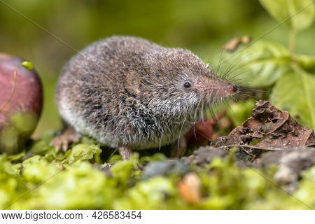 Eurasian Pygmy Shrew (sorex Minutus) Mouse In Natural Habitat. This Is One Of The Smallest Mammals I