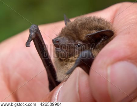 Nathusius' Pipistrelle (pipistrellus Nathusius) Bat In Hand Of Researcher. These Bats Are Caught For