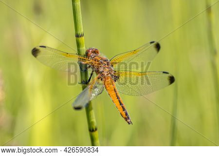 Scarce Chaser (libellula Fulva) Dragonfly. Male Resting On Grass Stem On Bright Green Background