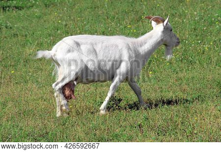 Dairy Goat On A Green Meadow. Milk Goat On The Pasture.
