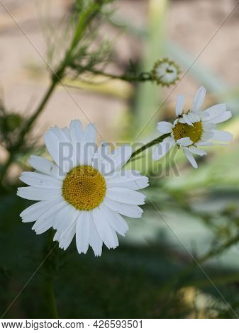Chamomile Flower, Close-up. Chamomile Or Camomile Is The Common Name For Several Daisy-like Plants O