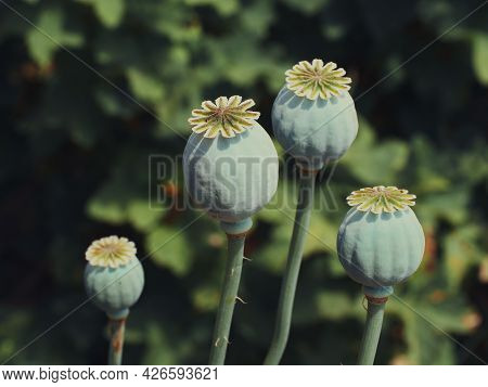 Opium Poppy Heads, Close-up. Papaver Somniferum, Commonly Known As The Opium Poppy Or Breadseed Popp