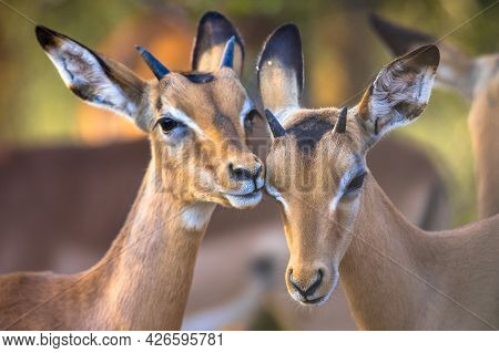 Two Impala (aepyceros Melampus) Two Animals Grooming Sweetly In Kruger National Park, South Africa