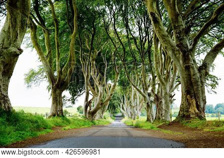 Spectacular Dark Hedges In County Antrim, Northern Ireland On Cloudy Foggy Day. Avenue Of Beech Tree