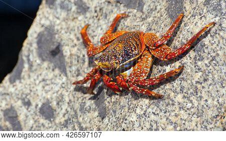 Red Crab Sitting On Stone, Sea Crustacean, Water Animal