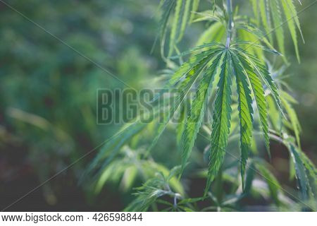 Wonderful View Of The Cannabis Bush In The Countryside In The Evening